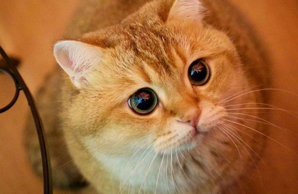 Os presentamos a Hosico, el Gato con Botas de carne y hueso