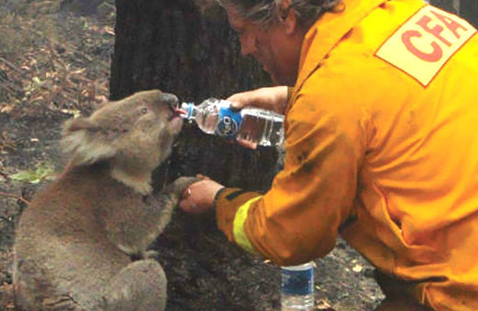 Homem ajuda coalas que estão morrendo de sede
