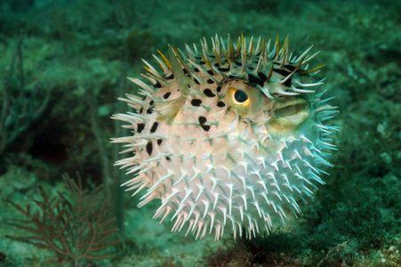 Pesce palla tripofobia