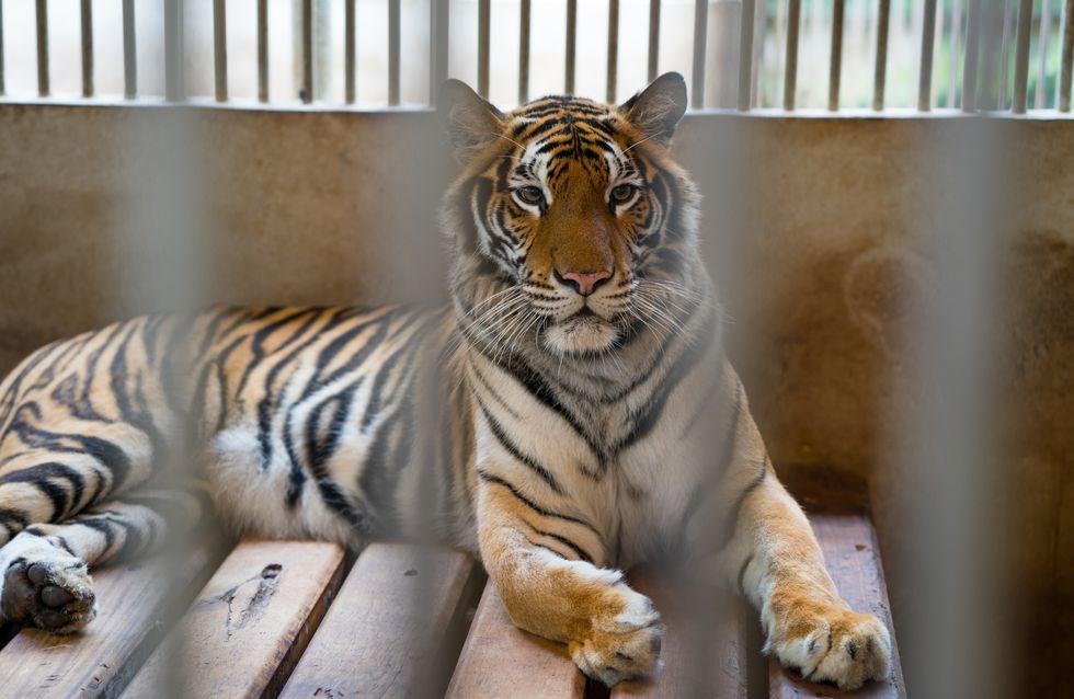 La colère après la mort d'un tigre, abattu par le personnel d'un cirque à Paris