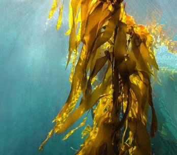 Beneficios de las algas para la piel