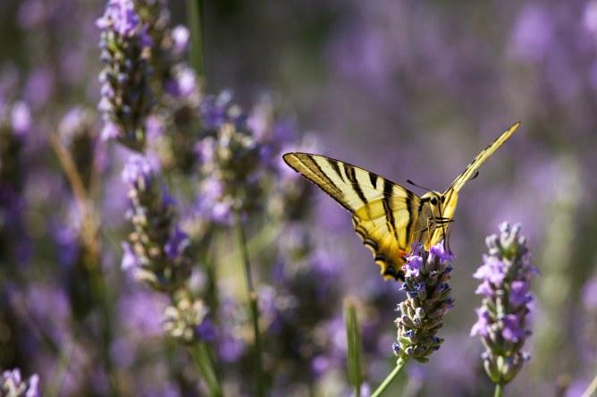 Lavanda e farfalle