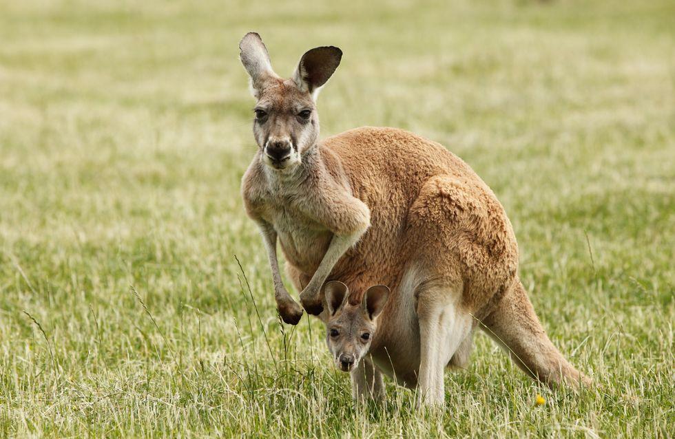 Ignoble ! Les visiteurs d'un zoo lancent des pierres à un kangourou qui succombe aux coups