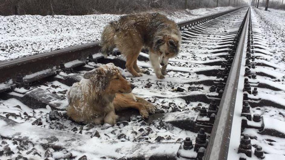 Incroyable ! Ce chien sauve son amie bloquée sur une voie ferrée (vidéo)