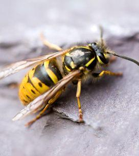9 Hausmittel gegen Wespen: Die vertreiben sie effektiv!