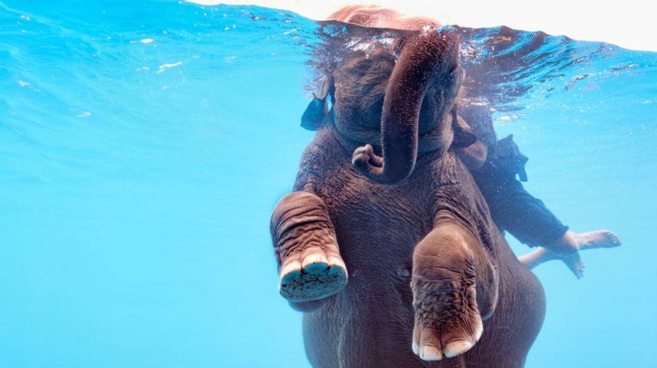 Scandaleux ! Des éléphants forcés de nager dans un aquarium pour divertir les touristes (vidéo)