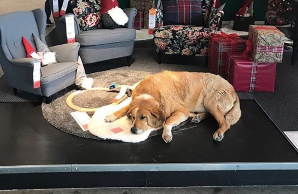 Ce magasin IKEA accueille les chiens errants pour les protéger du froid (vidéo)