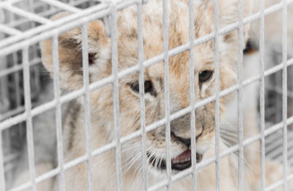 Adopter un lionceau, c'est la nouvelle tendance déplorable en France