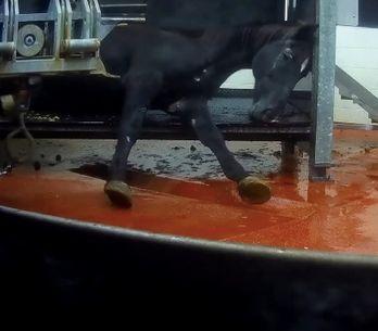 Avec cette vidéo choc, L214 alerte sur les conditions d'abattage auxquelles sont