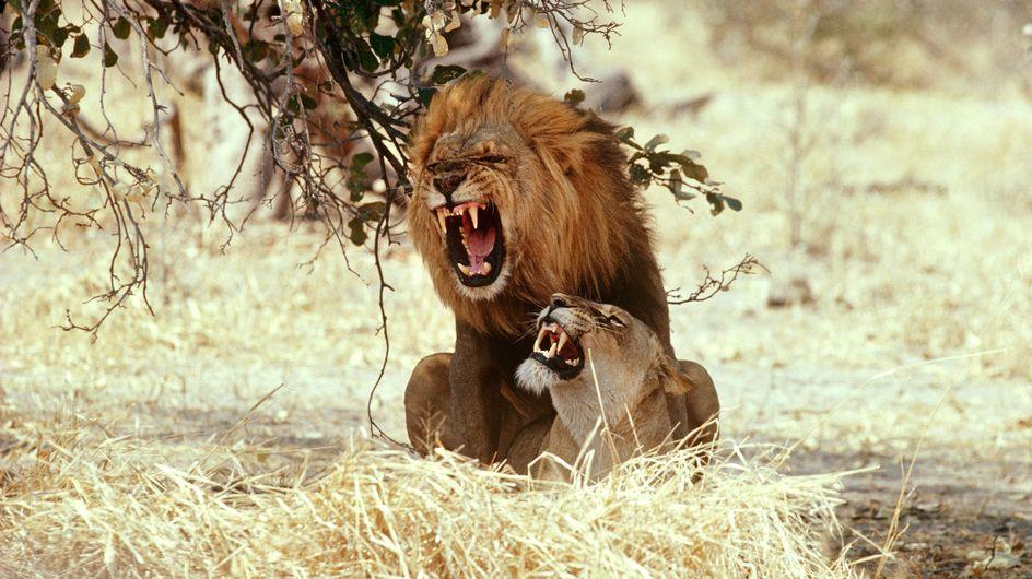 Les animaux iconiques d'Afrique pourraient bientôt disparaître