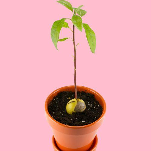 Avokado Avocado Kern Halter für die Avokadobaum Zucht schwarz
