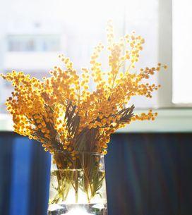 Ecco perché dire sì alla mimosa: benefici e proprietà di una pianta sottovalutat