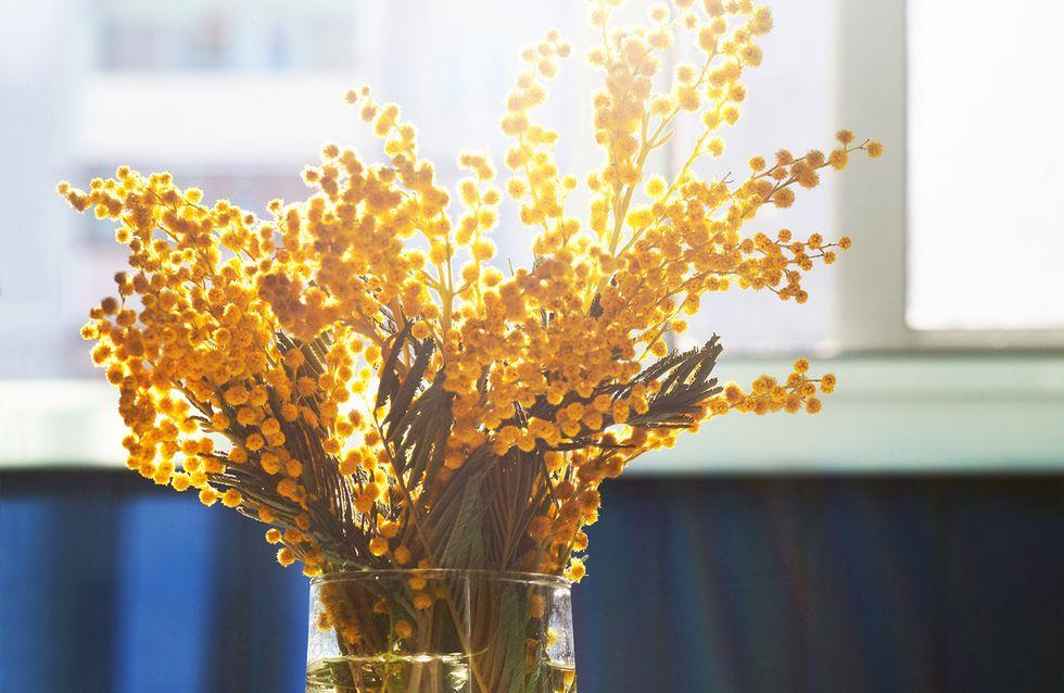 Ecco perché dire sì alla mimosa: benefici e proprietà di una pianta sottovalutata!