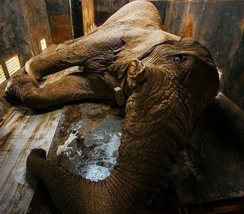Condamné à mort par la justice sud-africaine, cet éléphant a obtenu un sursis