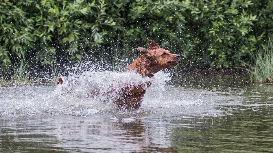 Un chien sauve un enfant de 3 ans de la noyade !
