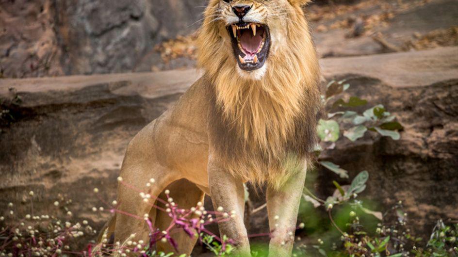 Une femme attaquée par un lion du cirque Zavatta se retrouve grièvement blessée