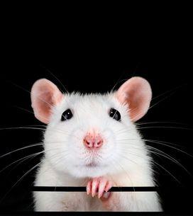 Sognare topi: qual è il significato psicologico?