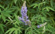 Agnocasto: tutte le proprietà di questa pianta per capire a cosa serve