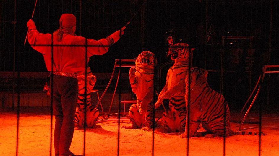 Un dompteur attaqué et tué par ses tigres dans un cirque en italie