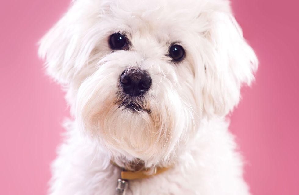 Pflegeleichte Hunderassen: Diese 7 Vierbeiner eignen sich für kleine Wohnungen