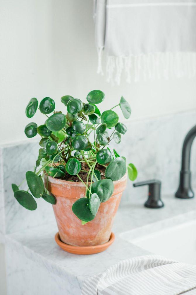 Le Pilea dans une salle de bain