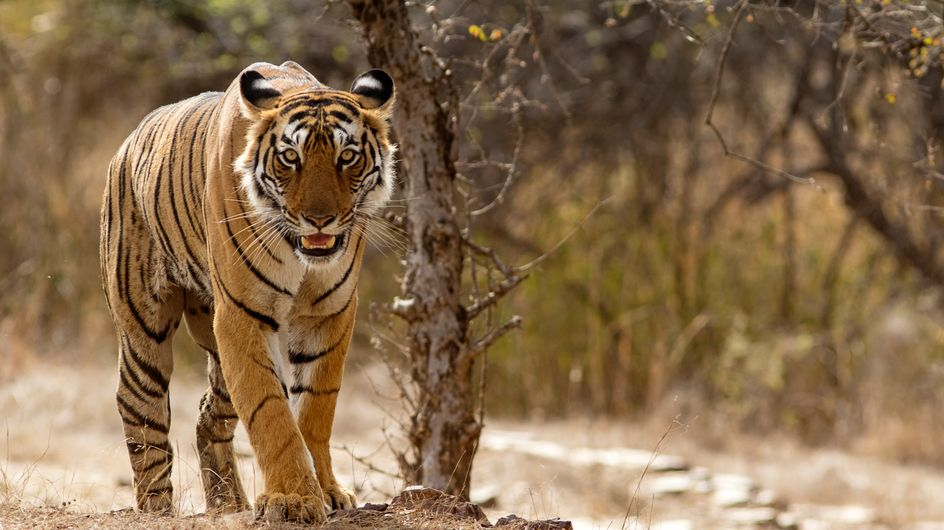 En Inde, le nombre de tigres sauvages a augmenté de 30% en 4 ans