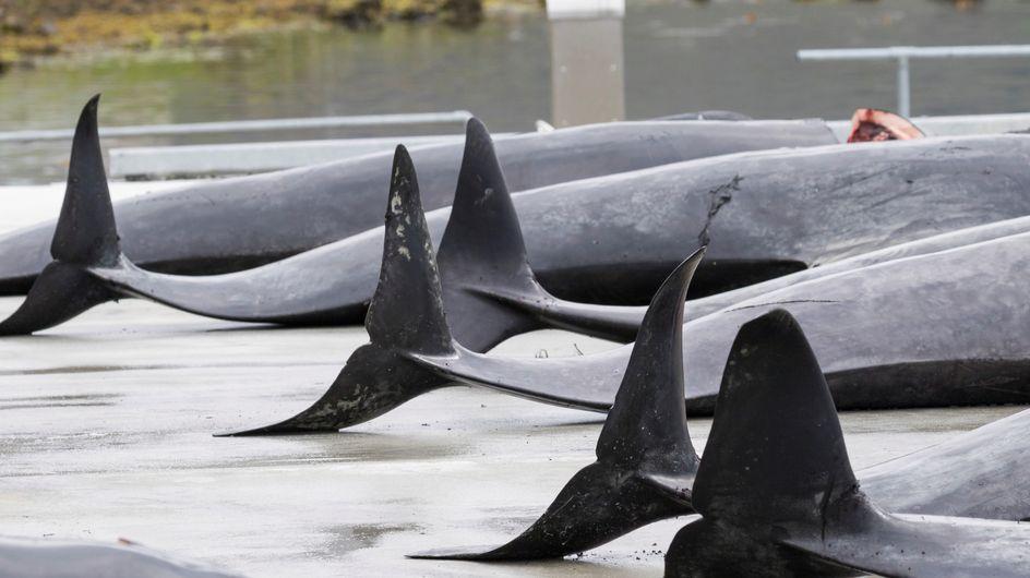 De nouvelles photos de la tradition du massacre des dauphins choquent