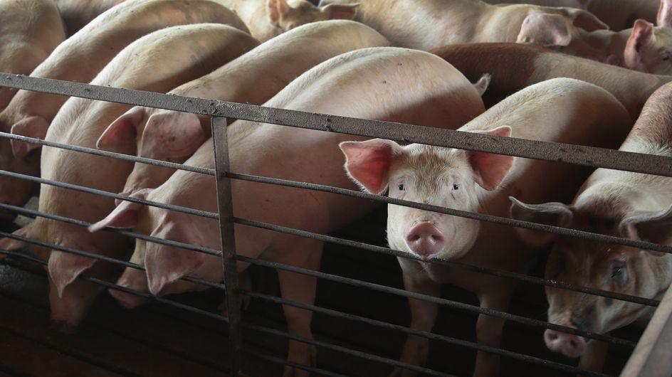 200 personnalités signent une tribune contre l'élevage intensif