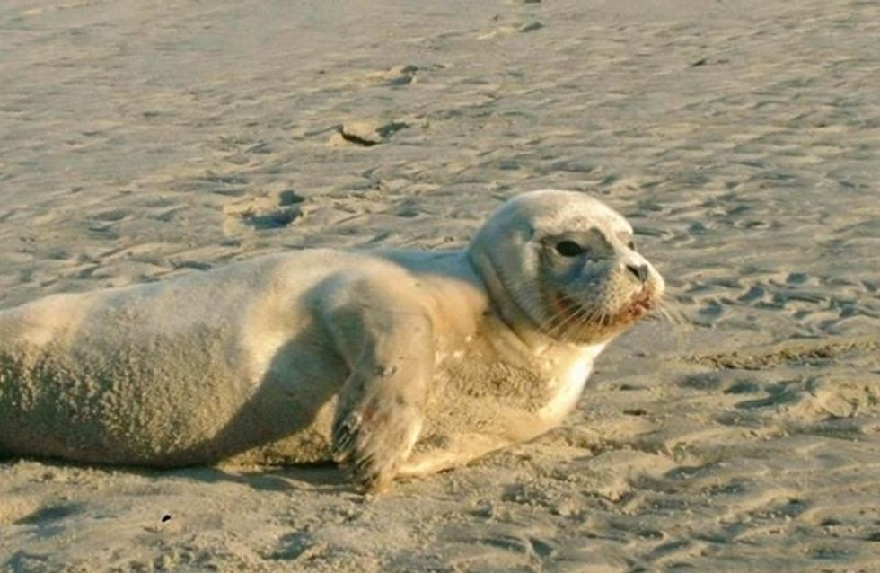 Le bébé phoque, martyrisé par un pêcheur, est mort
