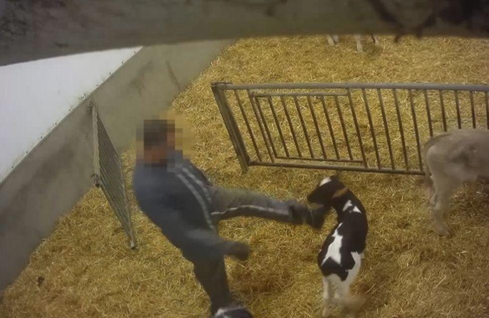 Battus et euthanasiés si peu rentables, l'enfer des élevages intensifs de veaux