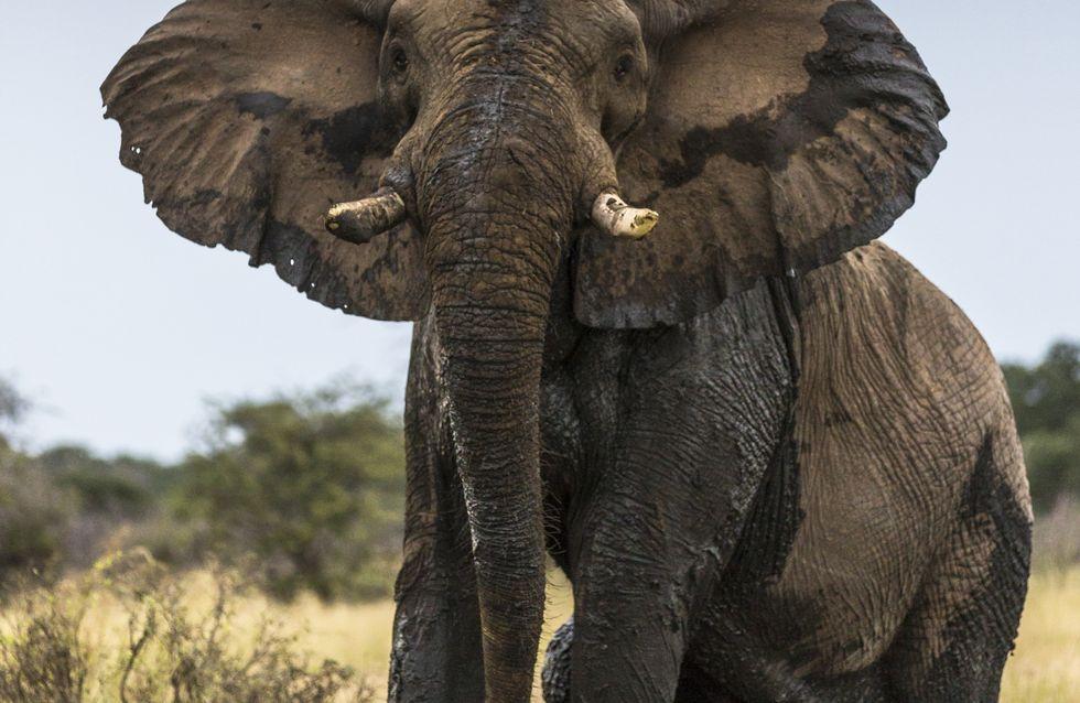 En un mois, plus de 50 éléphants sont morts à cause de la sécheresse au Zimbabwe