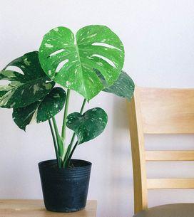 Monstera pflegen: So macht ihr die Zimmerpflanze glücklich