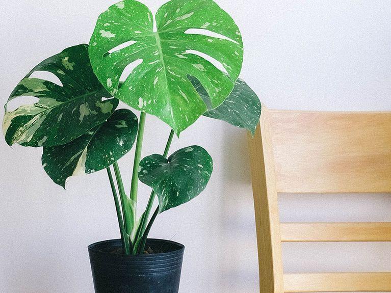 Monstera pflegen: So fühlt sich die Zimmerpflanze wohl