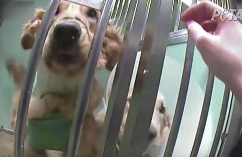 À l'approche du Téléthon, Peta appelle à manifester contre les tests sur les chiens