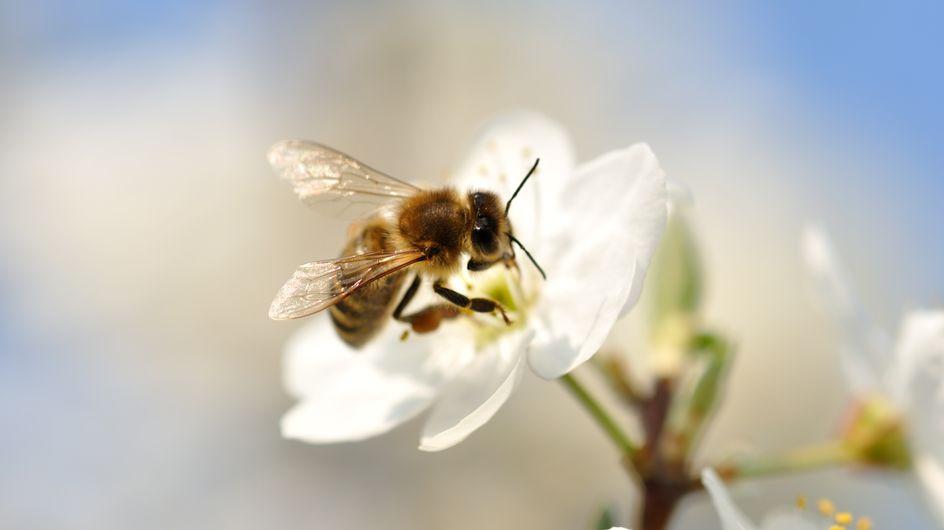 Pour protéger les abeilles, la justice française interdit la vente de deux pesticides