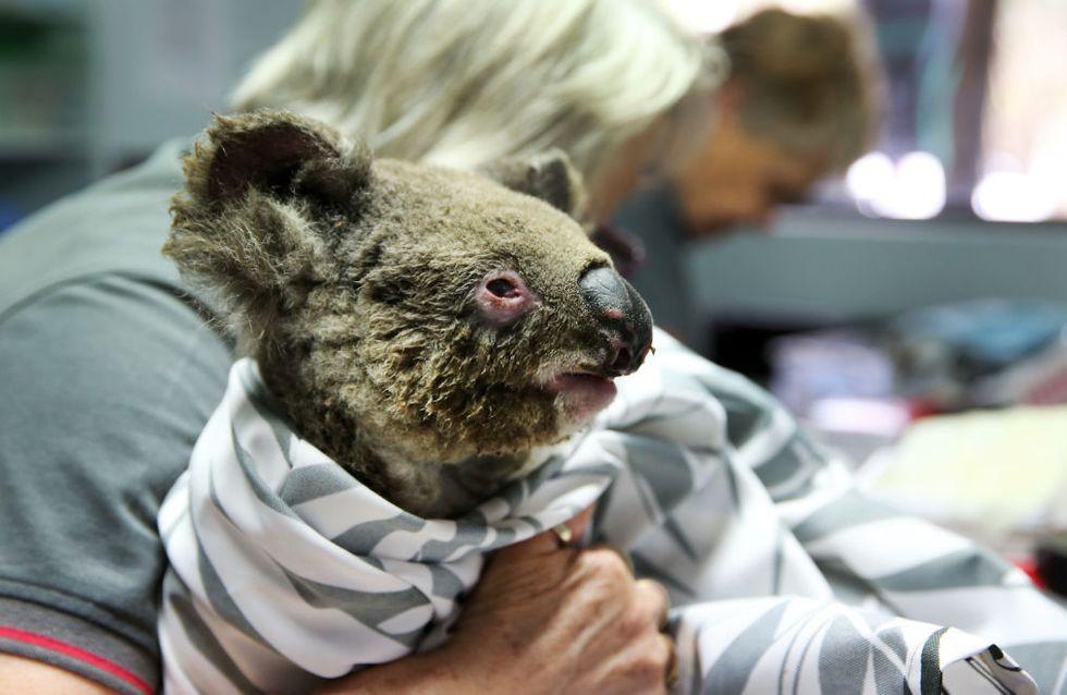 Près d'un tiers des koalas pourraient avoir péri dans les incendies en Australie