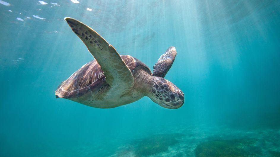 """Au Mexique, presque 300 tortues meurent à cause d'une """"marée rouge"""""""