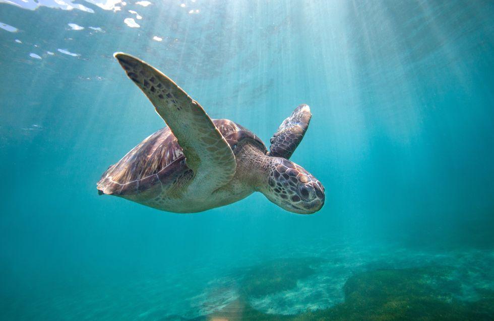 Au Mexique, presque 300 tortues meurent à cause d'une marée rouge