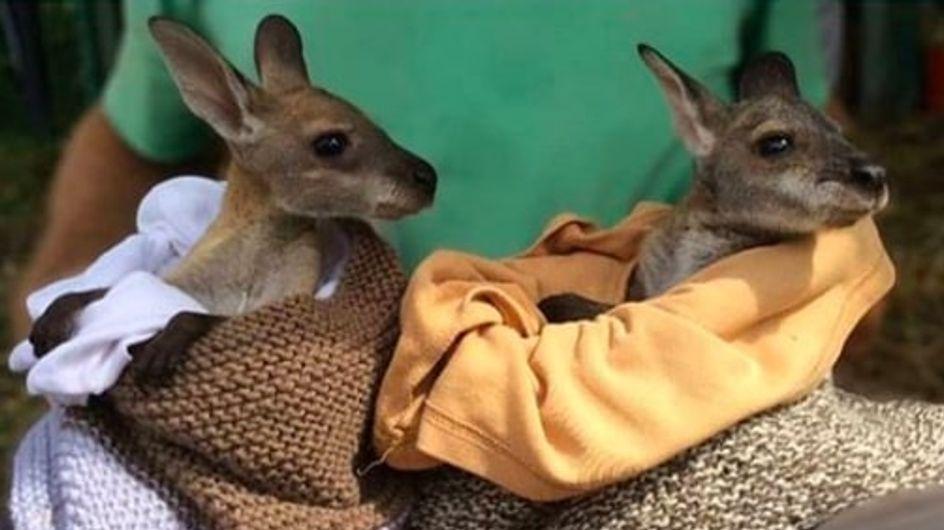 Elles fabriquent des poches en tissu pour les bébés marsupiaux orphelins en Australie