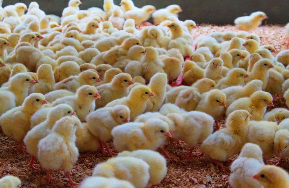 La France se prononce enfin sur le broyage des poussins et la castration à vif des porcelets