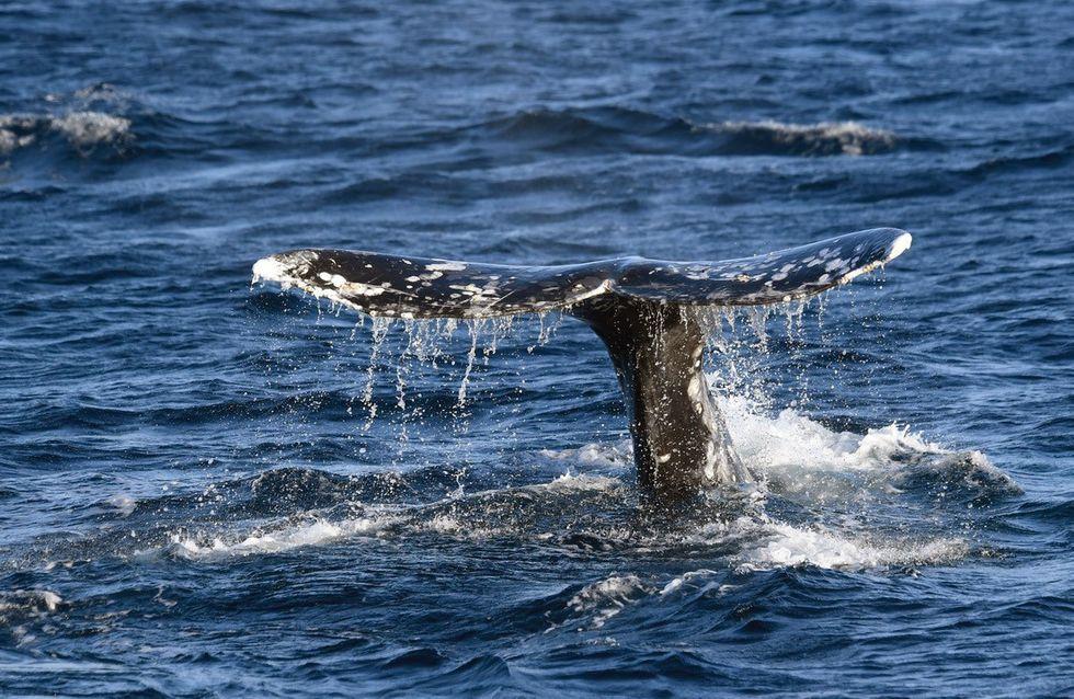 Islande : les pêcheurs ont le droit de chasser des baleines mais aucune n'a été capturée en 2019