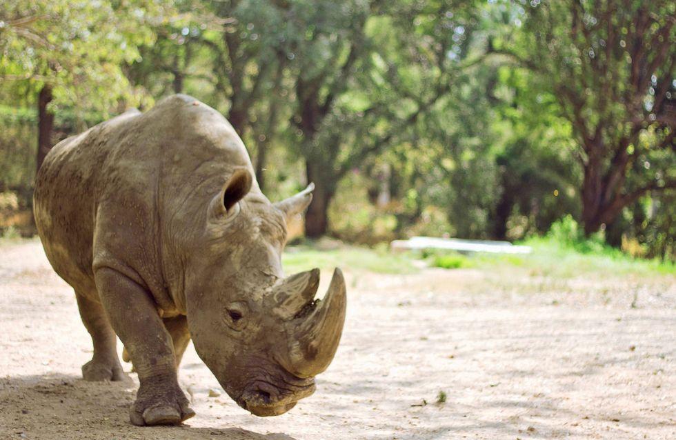 Un rhinocéros meurt de faim et de fatigue dans un zoo français