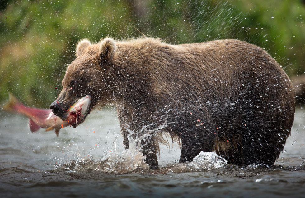Une association vous propose de baptiser des saumons au nom de votre ex pour nourrir des ours