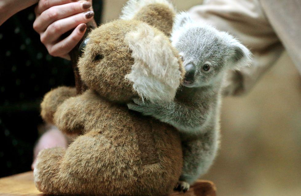 Orphelin, ce petit koala cherche du réconfort auprès d'un ours en peluche