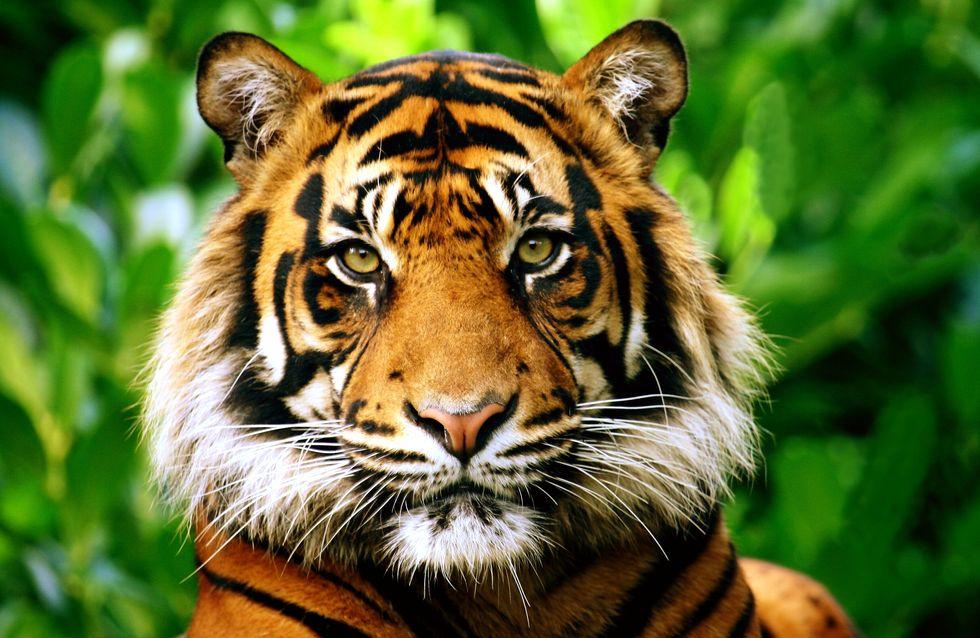 Un tigre d'un zoo de New York testé positif au virus