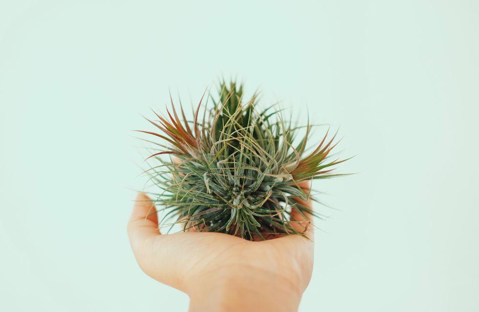 Luftpflanzen: Die besten Pflege- und Deko-Tipps für Tillandsien
