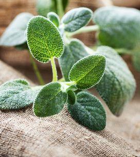 Salvia: proprietà e benefici della pianta toccasana per eccellenza