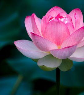 Fiore di loto: simbologia e significato del fiore della rinascita