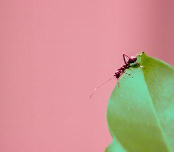 Comment fabriquer un anti-fourmis naturel (et efficace) ?