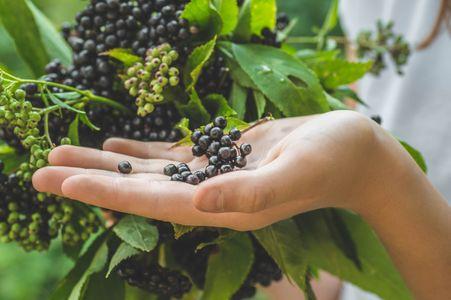 Fruits de sureau noir